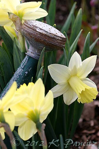 Daffodils &watering can