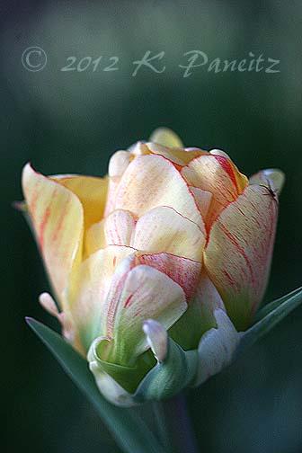 Tulip 'Akebono'