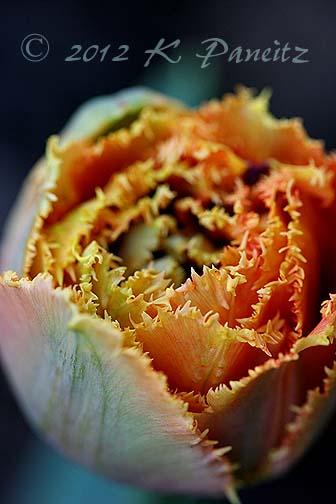 Tulip 'Sensual Touch1'