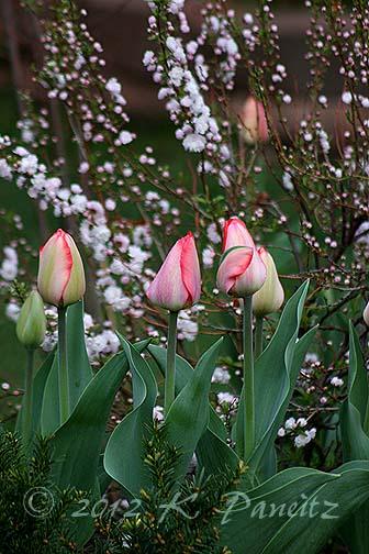 Tulips & Almond