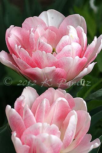 Tulip 'Foxtrot1'