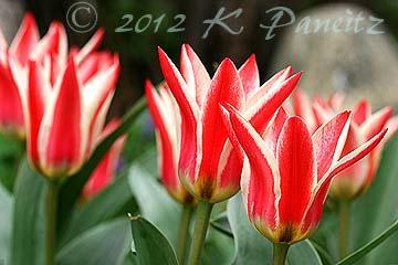 Greggi Tulip 'Tsar Peter2'