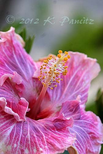 Pink Hibiscus1