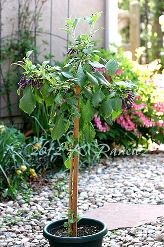 Violet Tubeflower Standard