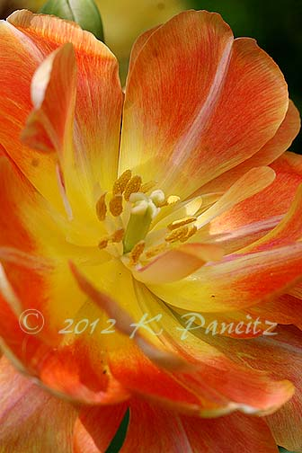 Tulip 'Charming Beauty2'