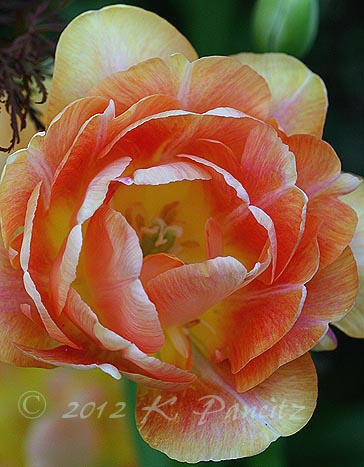 Tulip 'Charming Beauty4'