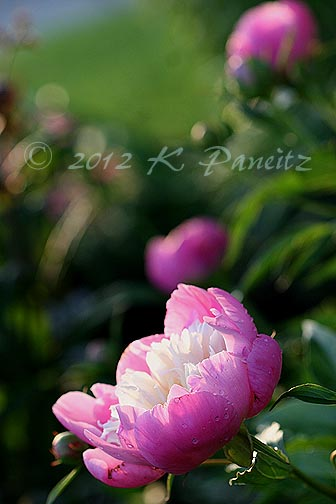 Peony 'Bowl of Beauty4'