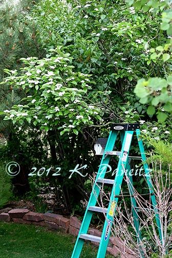 Hawthorne Tree in bloom