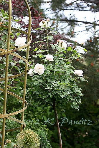 DA 'Winchester Cathedral' Tree Rose1