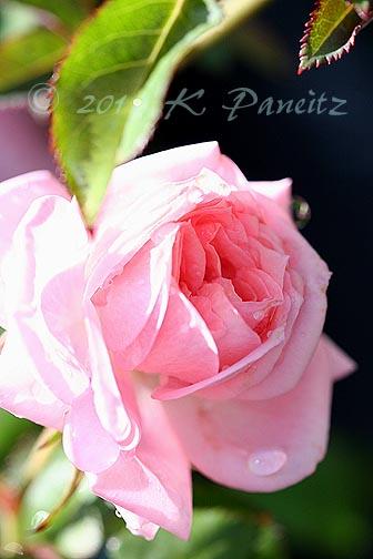 Miniature rose 'Cupcake1'