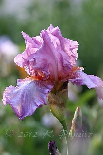 Bearded Iris Pink