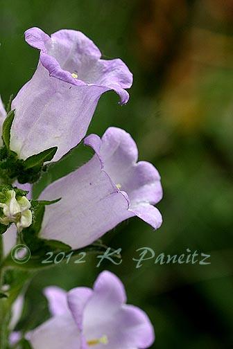 Canterbury Bells Lavender2