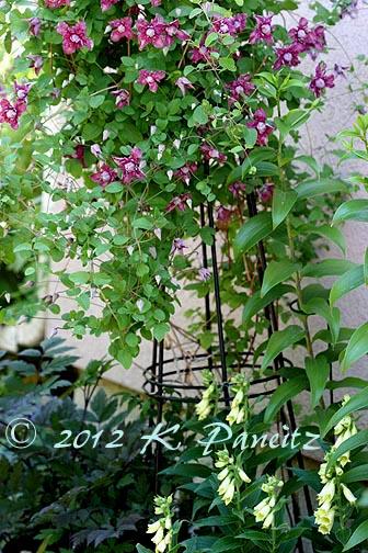 Clematis 'Purpurea Plena Elegans2'