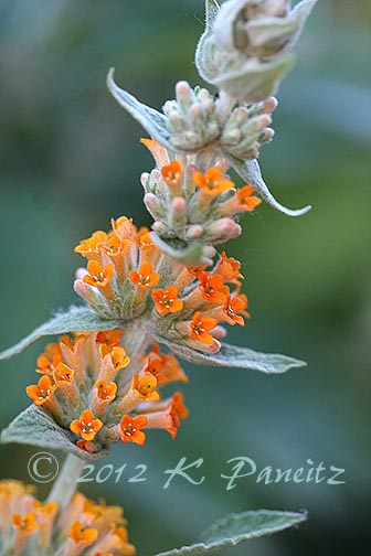 Buddleia 'Orange Sceptre2'
