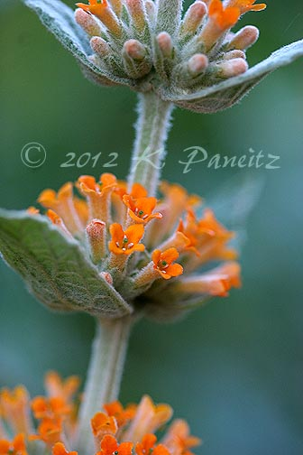 Buddleia 'Orange Sceptre1'