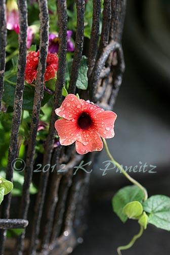 Thunbergia 'Arizona Dark Red'