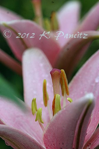Asiatic Lily 'Elodie'