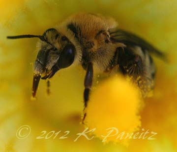 Bee in squash bloom1