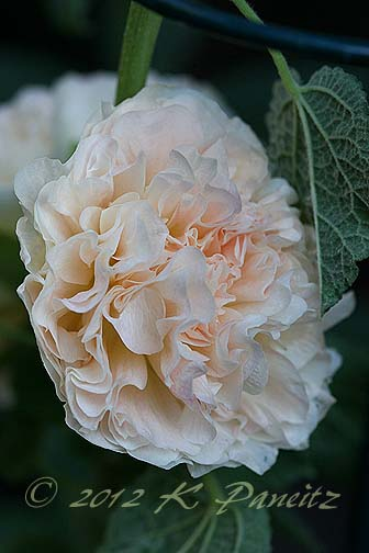 Hollyhock 'PeachesNCream1'
