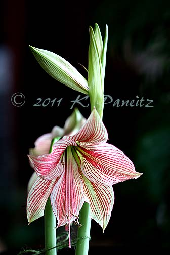 Amaryllis 'Exotic Star2'