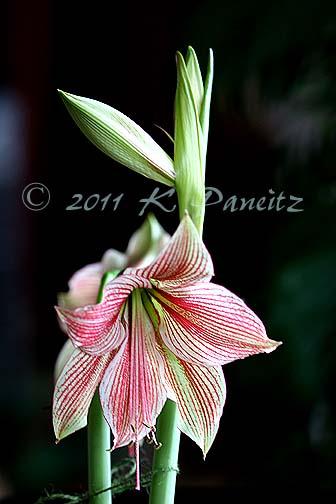 Amaryllis 'Exotic Star2'