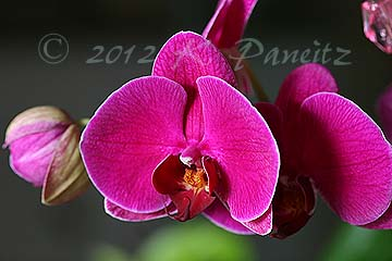 Pink Phal Orchid2