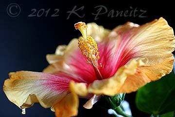 Hibiscus 'cajun1'