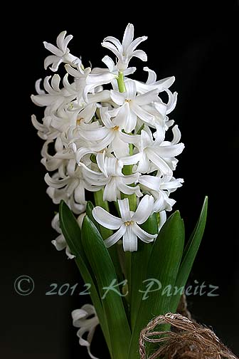 Forced White Hyacinth2