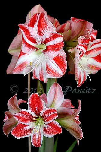Amaryllis 'Clown4'