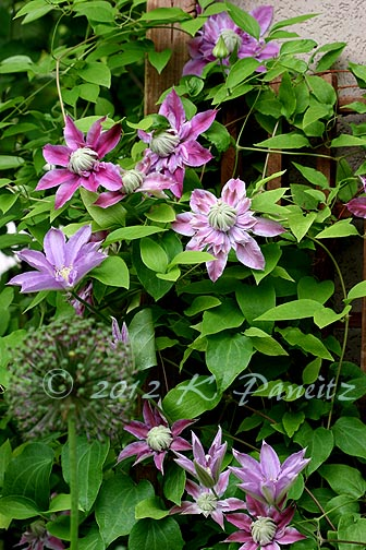 Clematis'Silver Moon'&'Josephine'