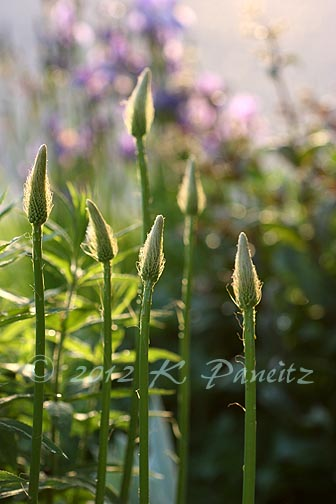 Foxtail lily buds