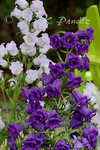 Canterbury Bells1