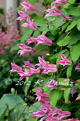 Clematis Texensis 'Duchess of Albany1'