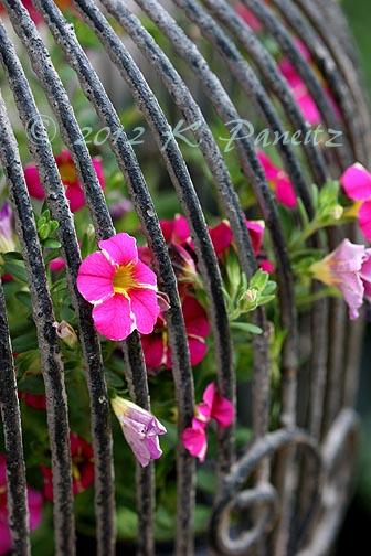Calibrachoa 'Cherry Star'