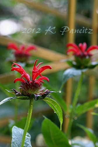 Monarda 'Jacob Cline1'