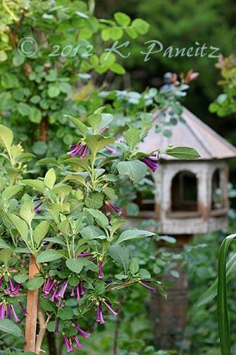 Violet tubeflowers