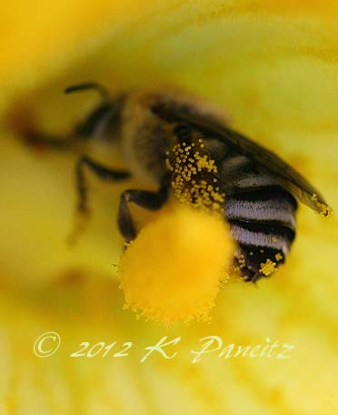 Bee in squash bloom