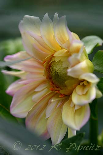Dahlia 'Apple Blossom2'
