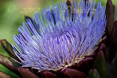 Artichoke bloom2