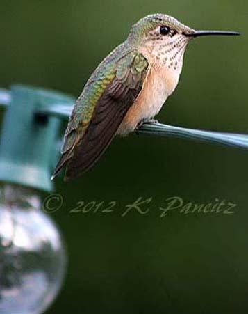 Rufous Hummingbird25