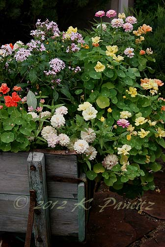 Vintage Wheelbarrow blooms1