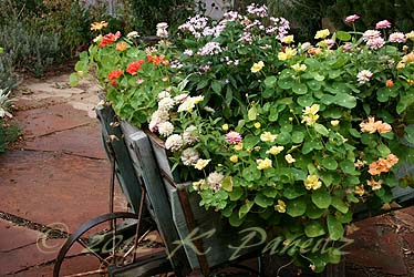 Vintage Wheelbarrow blooms4
