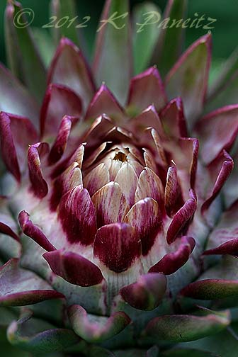 Artichoke bloom6