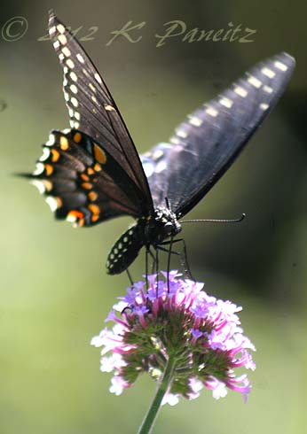 Black Swallowtail3