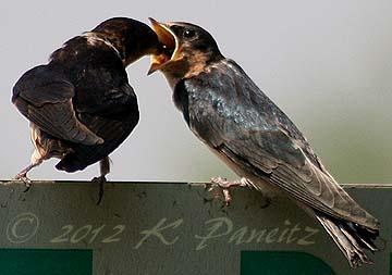 Barn Swallows1