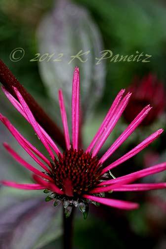 Echinacea 'Burgundy Fireworks2'