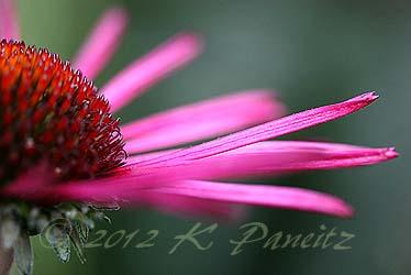 Echinacea 'Burgundy Fireworks'