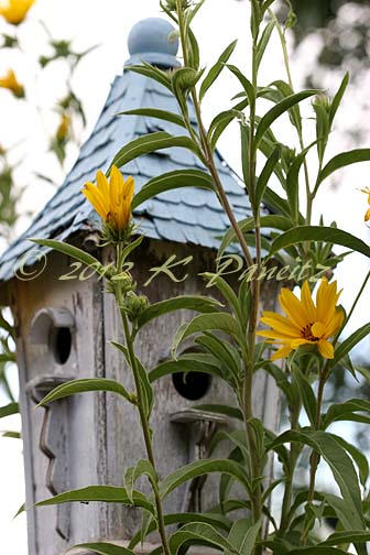 Helianthus maximiliani & birdhouse