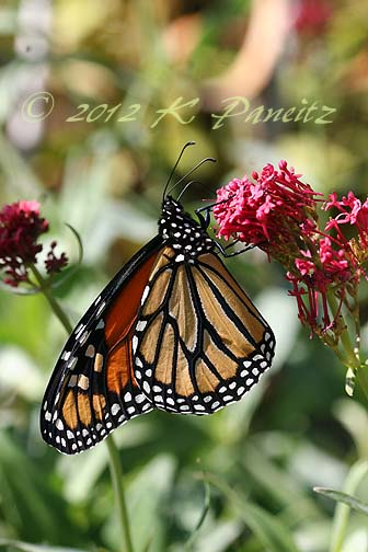 Monarch Oct 2012