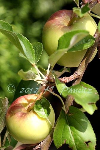 'Gala' Apples